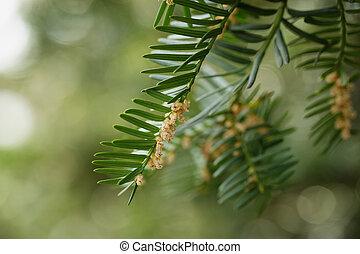 hojas, baccata, verde, taxus, flores, o, tejo