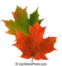 hojas, brillante, arce, coloreado