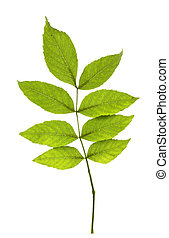 hojas, ceniza, fondo blanco