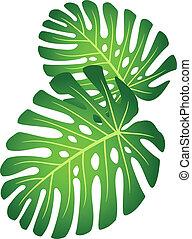 hojas, de, planta tropical, -, monstera.