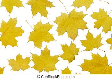 hojas del arce del otoño, aislado, blanco, plano de fondo