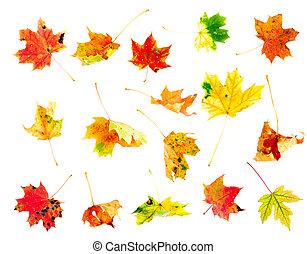 hojas del arce del otoño, colección