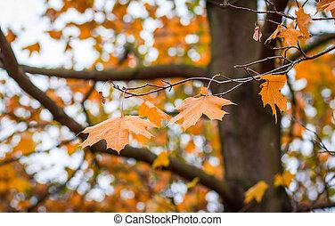 hojas del arce del otoño, con, enfoque poco profundo, plano de fondo