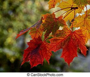 hojas del arce del otoño