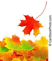 hojas del arce del otoño, plano de fondo