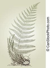 hojas, ilustración, vector, helecho