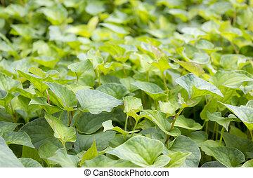 hojas, jicama
