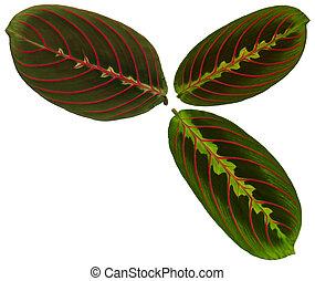 hojas, maranta