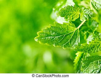 hojas, menta