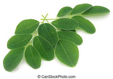 hojas, moringa