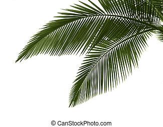 hojas, palma, plano de fondo, blanco