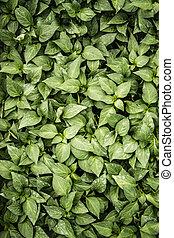 hojas, pimienta verde