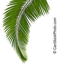 hojas, plano de fondo, palma, blanco