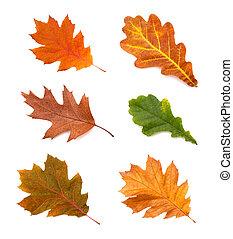 hojas, roble, aislado, colección, otoño, plano de fondo, blanco