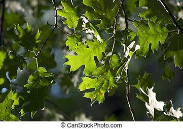 hojas, roble, backlit