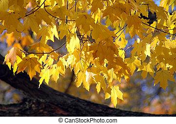 hojas, roble, rojo, otoño
