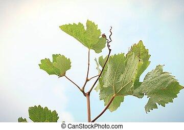hojas, uva