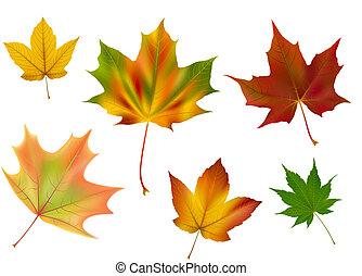 hojas, vector, diverso, arce