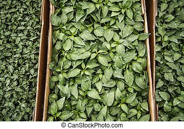 hojas, vegetal, verde
