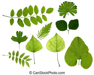 hojas, verde, aislado