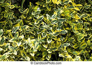 hojas, verde, arbusto
