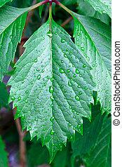 hojas verdes, con, gotas del agua