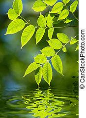 hojas verdes, en el agua