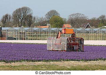 holandés, floral, industria, campos, con, rosa, y, blanco,...