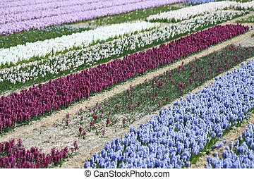 holandés, floral, industria, hyacints, en, un, campo