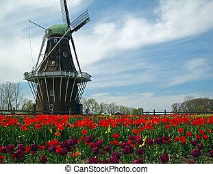 holandés, molino de viento, florecer, tulipanes, campo