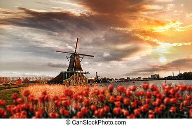holandés, molinos de viento, con, rojo, tulipanes, cierre,...