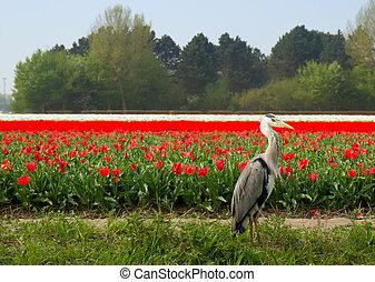 holandés, tulipanes, campo, con, heron gris