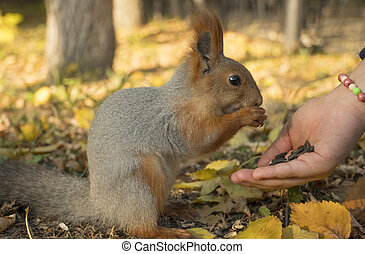 Holding out a hand with seeds to a squirrel. A squirrel with a fluffy tail nibbles seeds. Squirrel eats close-up. Zoology, mammals, nature. Small rodent. The squirrel changes color by winter.