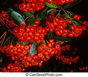 Holiday berries 1