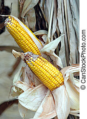 Holiday Season Corn