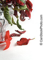 Holidays are over - Wilted poinsettia plant on white ...