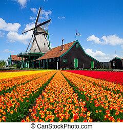 holland, felett, szélmalom, tulipánok, mező