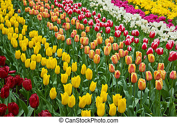 holland tulips field in Keukenhof garden, Holland