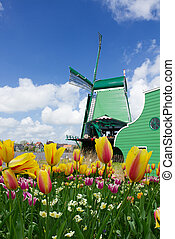 holland windmill - dutch old windmill with tulips at spring...
