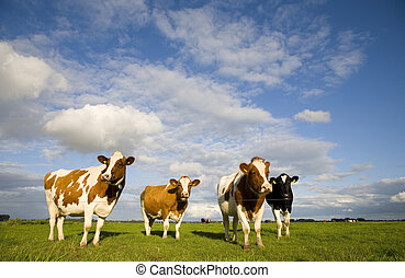 hollandais, vaches, 1