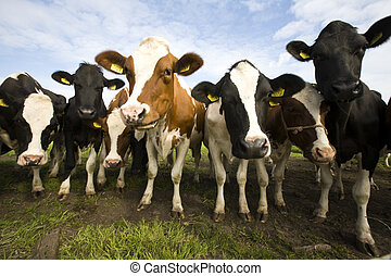 hollandais, vaches