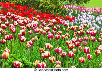hollande, tulipes, parc