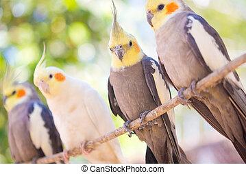 hollandicus nymphicus, papegøje