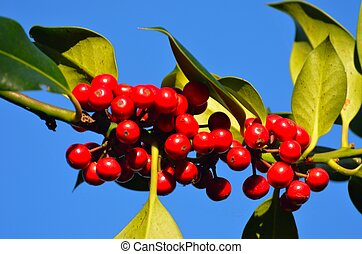 holly berries growing on tree in close up