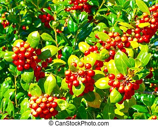 HOLLY BERRIES WITH LEAVES - A close up of holly berries with...