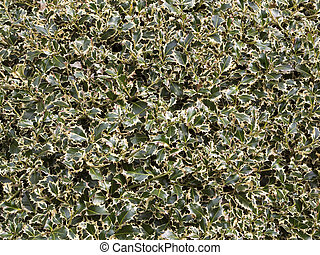 holly hedge - background texture of neatly clipped...