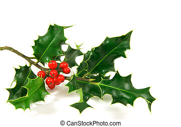 Holly - holly branch, over a white background