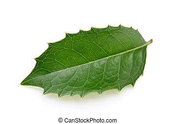 holly leaf on white background