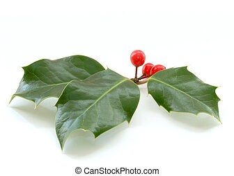 Holly - Sprig of Christmas holly berries