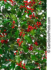 Holly with red berries background.